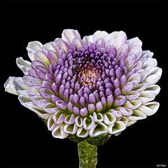 Baby Mum (maspick) Tags: flower plant floral bloom blossom petals stamen hdr mum white green purple lavender yellow pink iowa unitedstates
