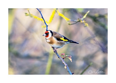 Goldfinch (Carduelis carduelis) (clarelusher) Tags: goldfinch bird passerine nature wildlife photography british england countryside birds carduelis perching songbird