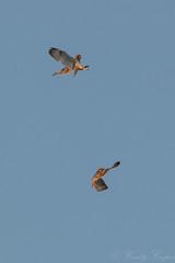 Short Eared Owl -5016 (WendyCoops224) Tags: 100400mml 80d cambridgeshire fens canon eos ©wendycooper asio flammeus short eared owl