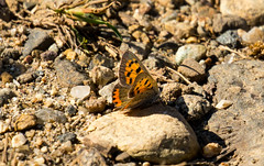 _U7A8381 (rpealit) Tags: scenery wildlife nature weldon brook management area american copper butterfly