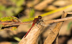 _U7A8323 (rpealit) Tags: scenery wildlife nature weldon brook management area male cherryfaced meadowhawk dragonfly