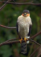 Male Sparrowhawk. (Brimack) Tags: sparrowhawk male accipiternisus