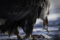Eating Salmon on the Chilkat (Joseph M. Campbell) Tags: 2019 alaska americanwest baldeagles birds wildlife raptors