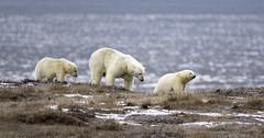 Polar Bear family (Tomingramphotography.com) Tags: polar bear alaska arctic family nature wild wildlife cubs kaktovik