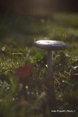 Musroom (Luka Popadić) Tags: autumn bibinje croatia mushroom helios44m k1captures pentax k1 vintagelens photography flickr nature outdoor closeup