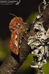 Pine Beauty (Panolis flammea) (gcampbellphoto) Tags: pine beauty panolis flammea moth insect invert macro nature wildlife county antrim northern ireland gcampbellphoto