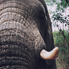 Elephant up close in South Africa (` Toshio ') Tags: toshio africa southafrica elephant animal mammal tusk hazyview nature iphone trunk texture closeup africanelephant