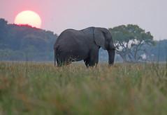 Elephant At Dusk (peterkelly) Tags: digital canon 6d africa intrepidtravel capetowntovicfalls botswana okavangodelta elephant savannaelephant sunset evening dusk wetland tree sun trees