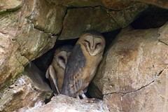 Barn Owl (Michal Ritter) Tags: owl czech colors national nikon animals animal mysterious nature landscapes landscape forest michalritter country color republic reportage bohemia beautiful bird