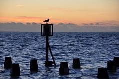 Early morning sentry (Kirkleyjohn) Tags: sea seashore seascape seagull groyne clouds morning morninglight lowestoft lowestoftsouthbeach kirkley
