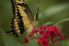 Thoas Swallowtail (vguzman1120) Tags: butterfly flowers bokeh nikon d500 nikkor nature naturephotography