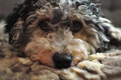 Sammy (_steffisteiner_) Tags: dog hund tier animal sammy