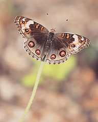 Peak  Hours  )¥( (yadhavan.c) Tags: ckphotography yadhavancphotography butterfly backyard garden nature naturescene park animal insects macro forest