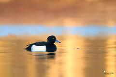 Tufted duck in a sea of gold (Picturavis) Tags: see kiesgrubesaaleaue vogel bird germany picturavis animal tier männchen deutschland hallesaale reiherente tuftedduck aythyafuligula lake male