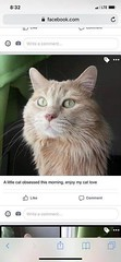 griffin (yycpetrecovery) Tags: dilute orange peach dlh dmh griffin glenbrook 2019 sep 14 lostcat lost cat