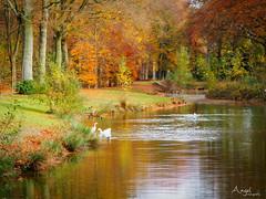 pond (Wilma van Oorschot) Tags: wilmavanoorschot angelphotography olympusem5 olympusomde5 olympus mzuikodigital75mm118 autumn autumncolors pond geese outdoor nature fall trees