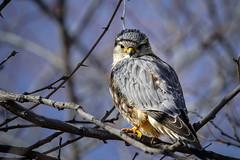 Prairie Falcon (Bernie Duhamel) Tags: prairiefalcon bird birdsofprey raptor colorado coloradowildlife wildlife frontrange greatphotographers teamsony rockymountains sonya9 sonyfe100400mm bernie duhamel sunshine shadows perch