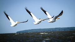 Pelicans on Lake Winnipeg (Desire2Travel) Tags: pelican whitepelican lakewinnipeg manitoba canada