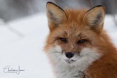 Portrait - Renard roux (Charlaine Jean) Tags: portrait mammifère mammal nationalpark parcnational canada québec explorer explore closeup oneanimal noperson snow winter animal nature wild wildlife renard fox
