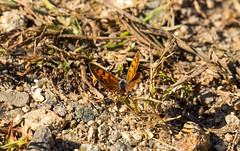 _U7A8377 (rpealit) Tags: scenery wildlife nature weldon brook management area american copper butterfly