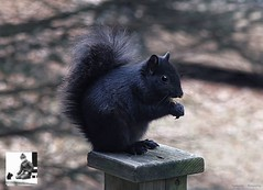 Black Squirrel eating corn. (Steve InMichigan) Tags: blacksquirrel squirrel canoneosm50 vivitarclosefocus75205mmf38kinokironlens fotasyfdfleosmlensadapter