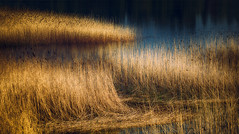 (Topolino70) Tags: lake weed shore nature yellow straw flora canon5dmarkiv