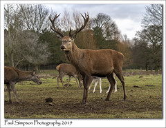 Red Deer Stag (Paul Simpson Photography) Tags: stag deer reddeer normanbypark lincolnshire scunthorpe sonya7iii food feedinftime nature mammal paulsimpsonphotography imagesof imageof photosof photoof winter december 2019 grass trees photosofnature legs reddeerstag antlers buck animal