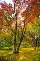 木 Tree (katepedley) Tags: kenrokuen koen kanazawa japan honshu nihon momiji maple tree leaves autumn gold red yellow green canon 5d 1740mm polariser garden orange japanese moss