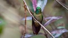 Tyrian Metaltail (mathurinmalby) Tags: animal bird tyrianmetaltailmetalluratyrianthina wildlife colombia metalluratyrianthina hummingbird cundinamarca