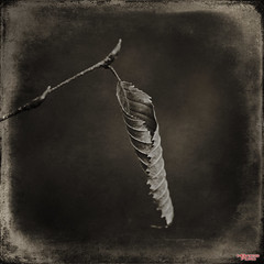 When He Falleth (MBates Foto) Tags: availablelight blackandwhite bokeh botany daylight existinglight fauna flora foliage foliation horticulture husbandry leaf leafage monochrome nikkorlens nikon nikonais nikond810 nikonfx outdoors plant sepia textures spokane washington unitedstates