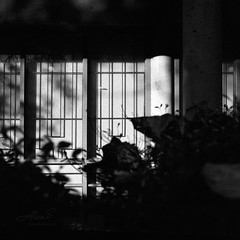 Garden - Film Hasselblad (Photo Alan) Tags: vancouver canada blackwhite bw blackandwhite monochrome film filmcamera filmscan filmhasselblad film120 hasselblad hasselblad503cw light lights shadow windows