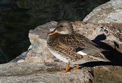 Gadwall, Anas strepera (Dave Beaudette) Tags: birds gadwall anasstrepera reidpark tucson pimacounty arizona