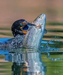 Gulping rainbow trout (Thy Photography) Tags: fish gulpingfish doublecrestedcormorant rainbowtrout wildlife animal nature outdoor backyard california bird sunrise sunset dawn dusk sunshine thyphotography sonya9ii sonya7rm4