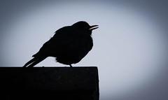 Sing Sing Sing (The Rustic Frog) Tags: blackbird wild bird black white canon camera lens slr nature monochrome warwickshire uk england midlands central mercia fosse urban garden singing calling summer holiday away house roof