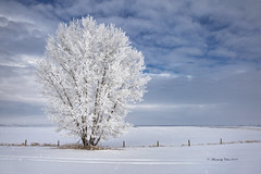 Winter Tree (Canon Queen Rocks (3,195,000 + views)) Tags: tree frost hoarfrost winter sky scenery scenic snow fence landscape landscapes prairies clouds naturephotography nature canada alberta white outdoors