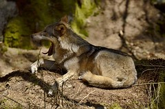 Wolf in Sumava (Michal Ritter) Tags: wolf sumava šumava photographer protected park animal action nikon national nature forest animals green landscape czech country color colors michalritter morning republic reportage