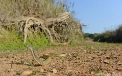 Keelback (Tropidonophis mairii) (shaneblackfnq) Tags: keelback tropidonophis mairii shaneblack colubrid julatten fnq far north queensland australia tropics tropical reptile snake