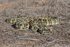 Carpet Python (Morelia spilota) (shaneblackfnq) Tags: carpet python morelia spilota shaneblack snake reptile mt mount molloy fnq far north queensland australia tropics tropical