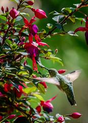 Yester-time (Portraying Life, LLC) Tags: dbg6 da3004 hd14tc k1mkii michigan pentax ricoh topazaiclear unitedstates bird closecrop handheld nativelighting backyard hummingbird summer resident