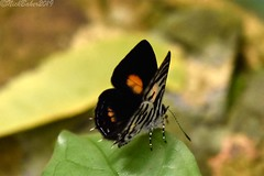8937 (laba laba) Tags: anthene bitje anthenebitje ipassa research station ipassaresearchstation ivindo national park ivindonationalpark africa gabon macro closeup rainforest nature butterfly insect