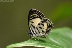 8934 (laba laba) Tags: anthene bitje anthenebitje ipassa research station ipassaresearchstation ivindo national park ivindonationalpark africa gabon macro closeup rainforest nature butterfly insect