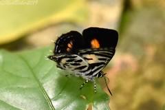 8939 (laba laba) Tags: anthene bitje anthenebitje ipassa research station ipassaresearchstation ivindo national park ivindonationalpark africa gabon macro closeup rainforest nature butterfly insect