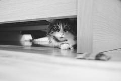 Inching Closer (flashfix) Tags: december122019 2019inphotos flashfix flashfixphotography ottawa ontario canada nikond7100 40mm feline tabby gizmo gizzy gizzard blackandwhite monochrome scared hidden sneaky cat
