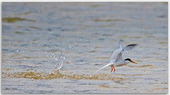 Little Tern (Bear Dale) Tags: littletern missedthefishonthattryscientificnamesternulaalbifrons scientific name sternula albifrons little tern seabirds seashore sea ocean nature naturephotography naturaleza nikkor afs 200500mm f56e ed vr ulladulla southcoast new south wales shoalhaven australia beardale lakeconjola fotoworx milton nsw nikond850 photography framed nikon bear d850