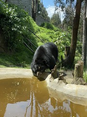 The Sanctuary of the Andean Bears/Spectacled Bears (lo Santuario de los Osos Andinos/Osos de Anteojos) at 2,610 meters (8,562 ft) above sea level, Azuay: Bioparque Amaru Zoológico Cuenca, the Southern Highlands, Ecuador. (ER's Eyes - Our planet is beautiful.) Tags: urso bear oso animal ososandinos ososdeanteojos ursidae tremarctosornatus andeanbears jardinerodelbosquenublado ursodeóculos ursodelunetas jukumari ukumari ukuku thespectacledbear andeanshortfacedbear mountainbear mammal refúgio santuário refuge sanctuary zoo zoológico amaru bioparque biopark cuenca ecuador equador theandes santuariodelosososandinos thesouthernhighlands azuay azuaybioparqueamaruzoológicocuenca zoobioparqueamaruzoológico amarubioparquecuenca cuencazoo amaruzoológicocuenca park parque montanha mountain fauna flora theathensofecuador theandeanbearssanctuary thespectacledbearssanctuary pepeshouse bb hostel albergue pepeshousebedbreakfast santaanadelosriosdecuenca theandesmountains