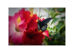 Butterfly on Flower (My digital Gallery) Tags: butterfly flower red green yellow schmetterling blumen bunt farbig schwarz black macro
