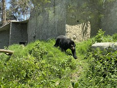 The Sanctuary of the Andean Bears/Spectacled Bears (lo Santuario de los Osos Andinos/Osos de Anteojos) at 2,610 meters (8,562 ft) above sea level, Azuay: Bioparque Amaru Zoológico Cuenca, the Southern Highlands, Ecuador. (ER's Eyes - Our planet is beautiful.) Tags: bear animal mammal oso urso ursidae tremarctosornatus ursodeóculos ukuku andeanbears ukumari jukumari mountainbear thespectacledbear ososdeanteojos ursodelunetas andeanshortfacedbear ososandinos jardinerodelbosquenublado park parque mountain fauna zoo ecuador flora zoológico sanctuary montanha cuenca refuge equador theandes biopark santuário bioparque amaru refúgio azuay thesouthernhighlands santuariodelosososandinos azuaybioparqueamaruzoológicocuenca zoobioparqueamaruzoológico amarubioparquecuenca cuencazoo amaruzoológicocuenca hostel bb albergue pepeshouse theathensofecuador theandeanbearssanctuary thespectacledbearssanctuary pepeshousebedbreakfast theandesmountains santaanadelosriosdecuenca