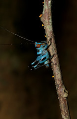 Little Blue Grasshopper (cowyeow) Tags: cucphuong cúcphương forest asia asian nature composition vietnam travel nationalpark insect insects wildlife macro blue grasshopper cricket tiny small vivid colorful