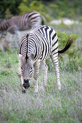 Zebra Portrait (Mark Nicholas Heah) Tags: natgeo natgeowild wildlife animal animals naturereserve nature kruger nationalpark nationalgeographic fierce african africa zebra