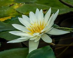 Water lily (shinichiro*) Tags: 20191201dsc00527 2019 crazyshin sonydscrx10m4 november autumn chofu tokyo japan jp flower macro 神代植物公園 49216167903 9474536 202001esp